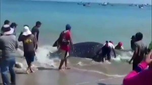 Whale shark rescued on Peruvian beach