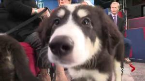 Adopt a Pet:  Great Pyrenees/Husky mix puppies