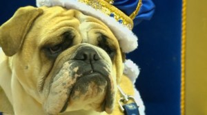 Dog owners compete for title of Most Beautiful Bulldog