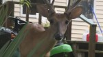 West Virginia man charged with keeping 2 wild deer as pets