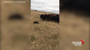 Ranchers watch lone beaver herd curious cattle near Ituna, Sask.