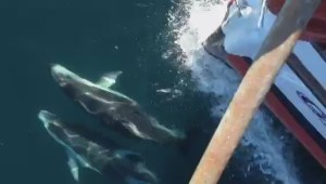 Pacific-white sided dolphins join a whale watching tour
