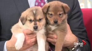 Adopt a Pet: Puppies needing foster homes