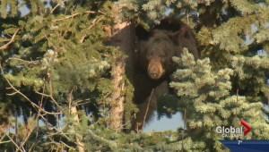 Black bear in southwest Calgary