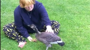 Kelowna teen fined for keeping Canada goose as pet