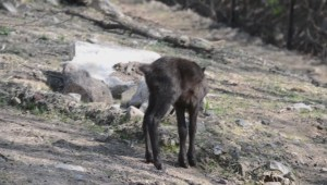 2 baby caribou born at Montreal's Ecomuseum Zoo