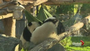 Giant panda cubs celebrate their one-year mark