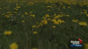 City of Edmonton to spray sports fields for dandelions
