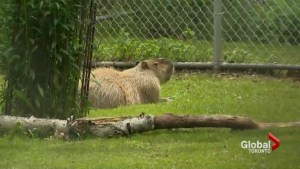 Missing Toronto capybara spotted swimming in High Park pond