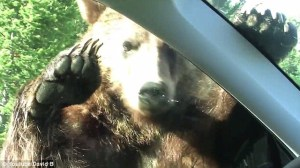 Curious bear has its way with family car at Yellowstone Park