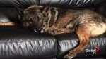 Teak the Vancouver Police dog takes it easy… finally