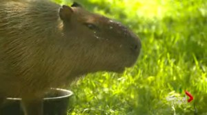 2 capybaras missing from High Park Zoo
