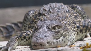 Crocodiles born in Sweden to be released in the wild in Cuba