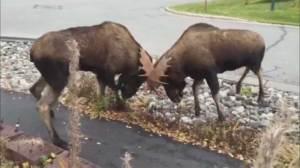 Footage captures moose fighting on residential Alaskan street