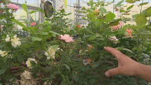 Spring flower advice at Shelmerdine on Global News Morning