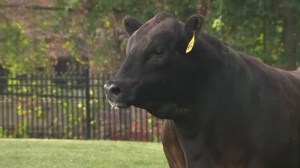 Two bulls escape Baltimore slaughterhouse