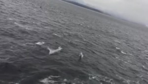 Pod of dolphins follow B.C. ferry