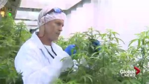 N.B. companies prepare for a future of legal marijuana
