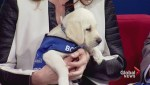 Meet BC guide dogs in training