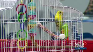 Pet of the Week: Newvee the Budgie Bird