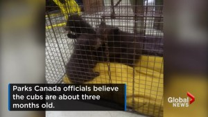 Black bear cubs found in Banff National Park restroom