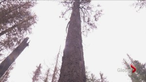 Firefighters battle to save the 'Elaho Giant'