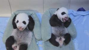New video of 6-week-old giant panda cubs at Toronto Zoo