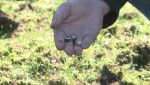 Raw: Chafer beetle infests Vancouver parks