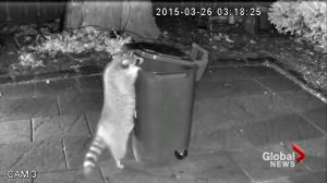 More raccoon attacks being reported