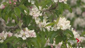 Fruit growing season in central Okanagan behind schedule due to cool and wet spring.