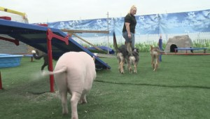 Raw: Meet Wilbur the 75-pound teacup pig