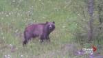 Warm Alberta winter has bears coming out of hibernation