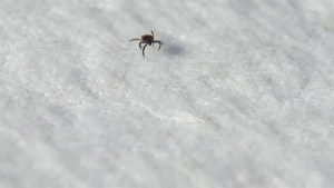 Winnipeggers cautioned to watch out for ticks