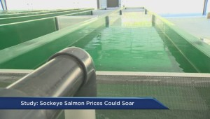 Sockeye salmon prices could soar: study