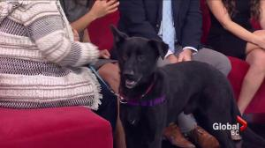 Adopt a Pet: Summit the shepherd mix
