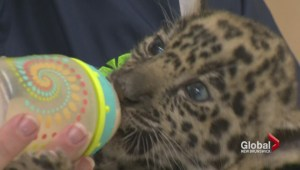 Baby Jaguar welcomed at Moncton zoo