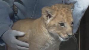 Buffalo Zoo reveals newborn lion cub