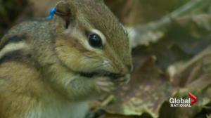 Spy technology used to monitor chipmunk chatter