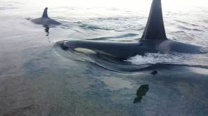 Orca pod gets up close and personal with beachgoers