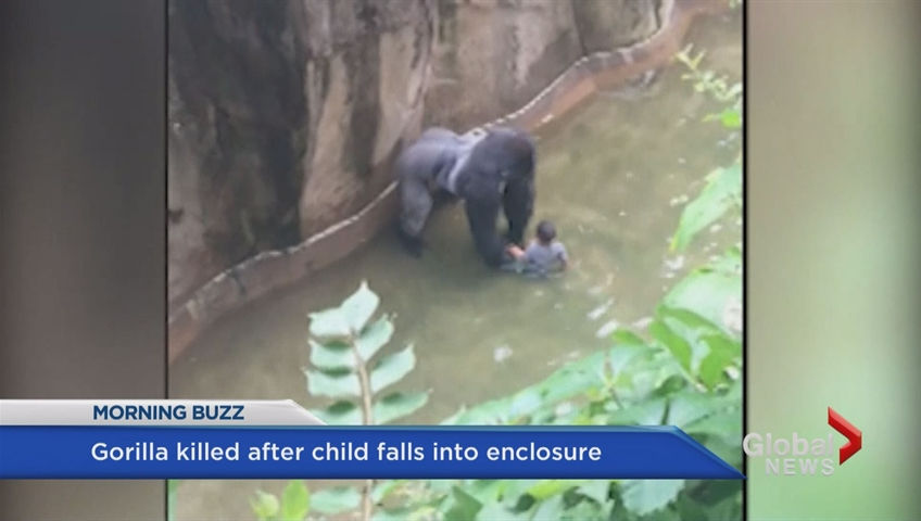 Mother 'could face charges' in gorilla shooting as she says: 'Accidents happen'