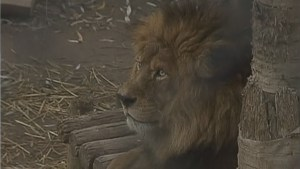 Man mauled after entering Chile zoo's lion pen, 2 cats slain