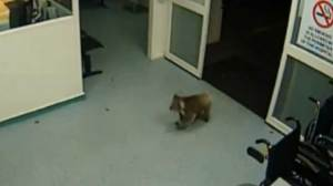 Koala makes a visit to hospital emergency room