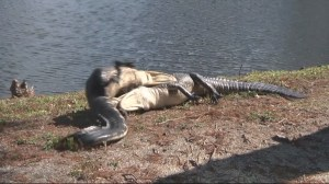 WATCH: Vicious alligator fight caught on camera