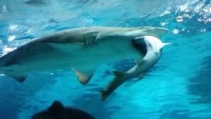 Shark eats fellow shark in Seoul aquarium