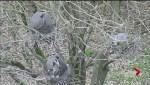 Stanley Park heron-cam goes online