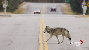 Bow Valley wolf pack down to just 2 wolves