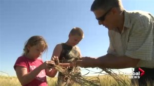Drought stress setting in on southern Alberta crops