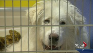 Over 200 dogs seized from southern Alberta rural property
