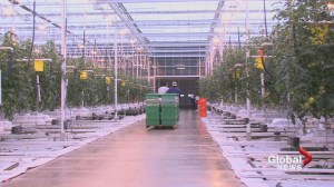 Alberta Greenhouse Growers brace for carbon tax, push for BC-style rebate
