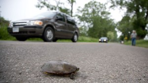 How an Ontario community stopped the turtle carnage